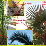 Algunas hojas tienen peculiaridades. Las palmeras forman su tronco (estípite) a partir de los restos de las vainas foliares.