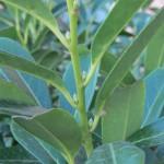 Prunus laurocerasus. Hojas en disposición alterna.