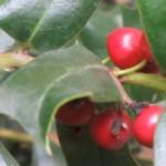 fruto ilex