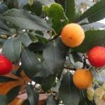Madroño: el fruto es una baya rojo-anaranjada, con el mesocarpo y el endocarpo carnosos. El epicarpo es rugoso.