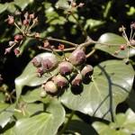 hiedra_fruto