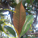 Magnolio. Partes de la hoja. En esta especie se distingue muy bien el envés (aterciopelado) del haz (brillante).