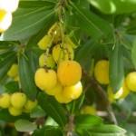 Frutos iniciando coloración.