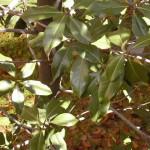 magnolio_hojas9