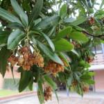 Fin de la floración. Cuajado de los frutos.