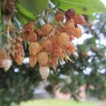 Detalle del cuajado de los frutos.