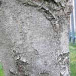 Corteza de tronco (cierta rugosidad al tacto)