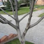 Tronco y ramas del Nogal.