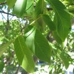 Detalle de las hojas.