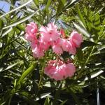adelfa_flores2