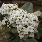 viburnum_flores2