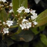 viburnum_flores7