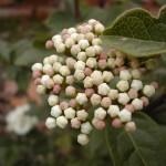 viburnum_preflores